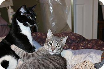 Domestic Shorthair Cat for adoption in Lindsay, Ontario - Smokey