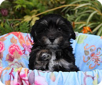 Havanese Mix Puppy for adoption in Newport Beach, California - JETT