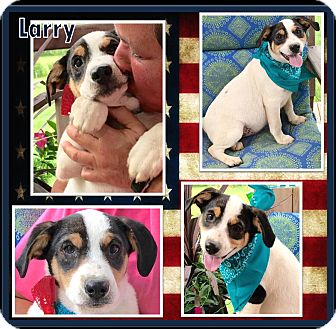 Rat Terrier/Labrador Retriever Mix Puppy for adoption in Ringwood, New Jersey - Larry