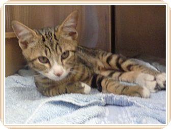 Domestic Shorthair Kitten for adoption in Marietta, Georgia - MILES-avail 7/18