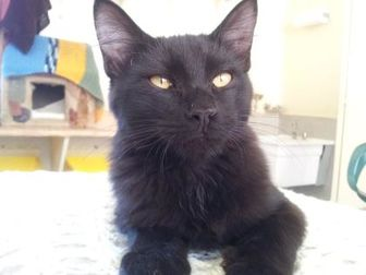 Domestic Shorthair/Domestic Shorthair Mix Cat for adoption in Mountain Center, California - Aerosmith