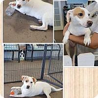 Corgi/Shepherd (Unknown Type) Mix Puppy for adoption in Mesa, Arizona - KENNY