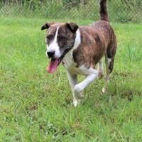 Adopt A Pet :: Abana - Lynchburg, VA
