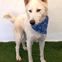 Adopt A Pet :: Shiloh - San Diego, CA