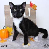 Adopt A Pet :: Carol - Luling, LA