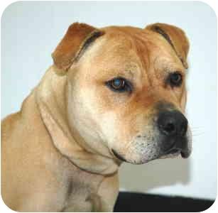 Pit Bull Terrier Mix Dog for adoption in Port Washington, New York - Oscar