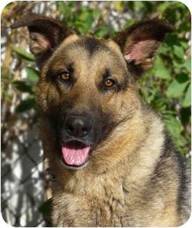 German Shepherd Dog Mix Dog for adoption in Los Angeles, California - Rocky von Russell