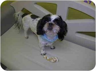 Lhasa Apso Mix Dog for adoption in HARRISONVILLE, Missouri - Ryan