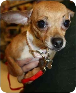 Chihuahua Mix Dog for adoption in Howell, Michigan - Baby