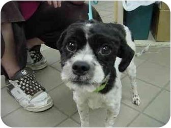 Shih Tzu Mix Dog for adoption in Marshalltown, Iowa - Rowdi