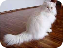 Persian Cat for adoption in Chattanooga, Tennessee - Snowball