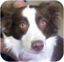 "Border Collie Dog for adoption in Minerva, Ohio - Joy ""I've Been Adopted"""