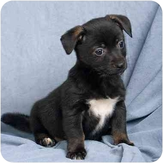Jack Russell Terrier Mix Puppy for adoption in Anna, Illinois - TRUCKER