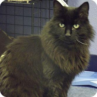 Domestic Longhair Cat for adoption in Colorado Springs, Colorado - Ronnie
