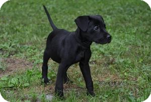 Labrador Retriever Mix Puppy for adoption in Marlton, New Jersey - Little baby Lucy