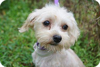 Maltese/Yorkie, Yorkshire Terrier Mix Dog for adoption in Newark, Delaware - Zara