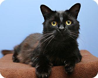 Domestic Shorthair Cat for adoption in Bellingham, Washington - Amadeus