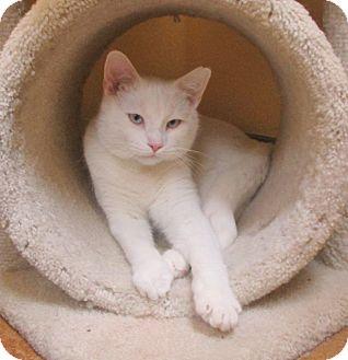 Domestic Shorthair Cat for adoption in Benbrook, Texas - Skylar