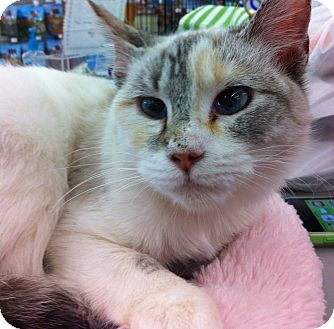 Siamese Cat for adoption in Riverside, California - Pearl