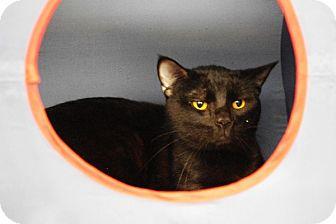 Domestic Shorthair Cat for adoption in Elyria, Ohio - Storm