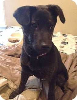 Labrador Retriever/Shepherd (Unknown Type) Mix Dog for adoption in North Olmsted, Ohio - Storm