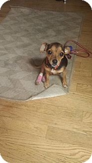 Chihuahua Dog for adoption in Chicago, Illinois - Evelyn