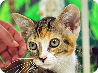 Domestic Shorthair Cat for adoption in Searcy, Arkansas - Fuddles