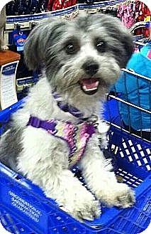 "Havanese/Poodle (Miniature) Mix Dog for adoption in Seattle, Washington - ""Belle"""