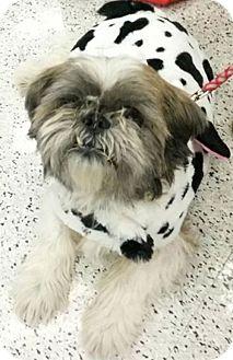Shih Tzu/Bulldog Mix Dog for adoption in San Dimas, California - Funkle