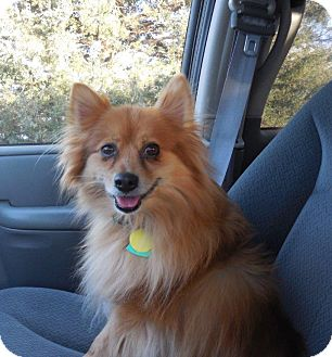 Pomeranian Dog for adoption in Shawnee Mission, Kansas - Tom the Pom