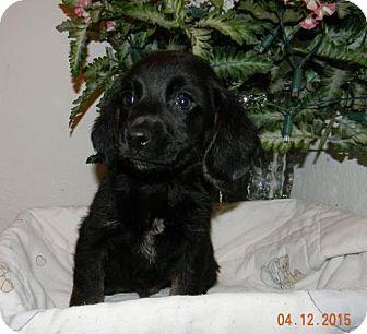 Beagle Puppy for adoption in Chester, Illinois - Cole