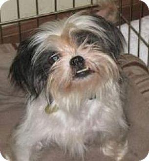 Shih Tzu Dog for adoption in Tallahassee, Florida - Melanie - ADOPTED