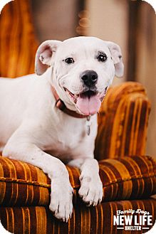 Pit Bull Terrier Dog for adoption in Portland, Oregon - Starlet