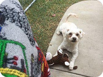 "Lhasa Apso/Poodle (Miniature) Mix Dog for adoption in Corona, California - ""Hero"" Lhasa Apso Handsome Boy"