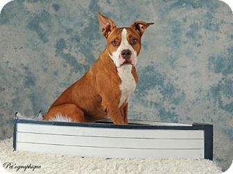 American Staffordshire Terrier Mix Dog for adoption in Las Vegas, Nevada - Huck