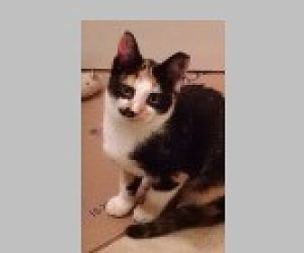 Domestic Shorthair Cat for adoption in Pittsboro, North Carolina - Bandit