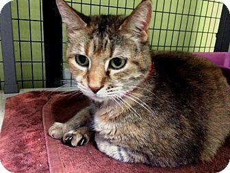 Domestic Shorthair Cat for adoption in Oak Park, Illinois - Dolly Parton