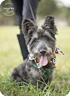 Scottie, Scottish Terrier Mix Dog for adoption in Kingwood, Texas - Pepper