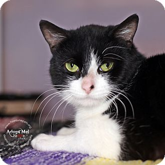 Domestic Shorthair Cat for adoption in Lyons, New York - Sal