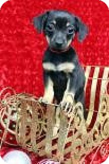 Dachshund Mix Puppy for adoption in Westminster, Colorado - BINGO
