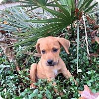 Adopt A Pet :: Torch - West Warwick, RI