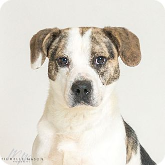 Terrier (Unknown Type, Medium)/Beagle Mix Dog for adoption in Naperville, Illinois - Turino
