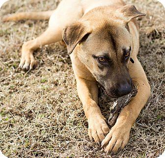 German Shepherd Dog/Rhodesian Ridgeback Mix Puppy for adoption in Fishkill, New York - HAMILTON