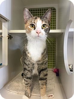 Domestic Shorthair Cat for adoption in Youngsville, North Carolina - Smalls