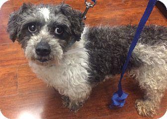 Shih Tzu/Poodle (Miniature) Mix Dog for adoption in Oak Ridge, New Jersey - Jeremy