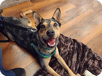 Australian Cattle Dog Dog for adoption in Seymour, Connecticut - Nooka:social boy! (PA)