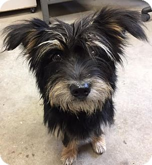 Yorkie, Yorkshire Terrier/Terrier (Unknown Type, Small) Mix Dog for adoption in Liberty Center, Ohio - Abigail
