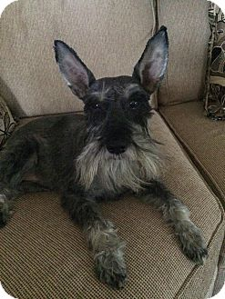 Schnauzer (Miniature) Mix Dog for adoption in Portland, Maine - Clarke
