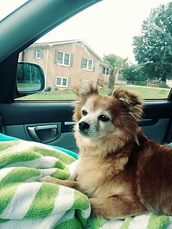 Pomeranian/Papillon Mix Dog for adoption in Monroe, North Carolina - Vada