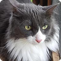 Adopt A Pet :: Mr. Socks - North Fort Myers, FL